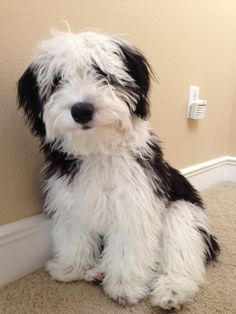 Mini Sheepadoodle Cleo (pawtra) on Pinterest | Grooming Dogs ...