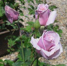 'Sterling Silver' hybrid tea rose. Lavender blooms with strong citrus fragrance. Zones 7 - 10.