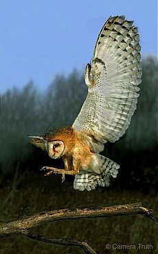 """Owl: """"Coming Into Land..."""" <3"""