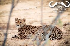 This lovely cheetah was a great sighting that got even better after she made a kill not long after River Lodge, African Safari, Canon Photography, Beautiful Cats, Wild Animals, Big Cats, Cheetah, Panther, South Africa