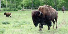 Spring Roundup at Mountain Lake Bison Range in Southern Ontario. Buffalo Recipe, Bison, Grass, Ontario, Southern, Mountain, Spirit, Range, Recipes