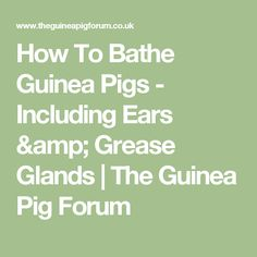 How To Bathe Guinea Pigs - Including Ears & Grease Glands | The Guinea Pig Forum