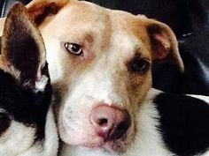 Pictures of Savannah a Pit Bull Terrier for adoption in Franklin, IN who needs a loving home.