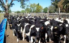 Destacan potencialidad de América como productora de lácteos