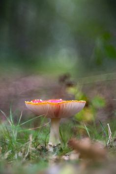 fly agaric (Amanita muscaria) #beautiful #mushroom #fungi