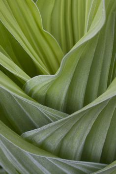 Layered, unfurling Hosta leaves in spring. Reminiscent of an early Eames molded plywood chair, c.1944 - 45.