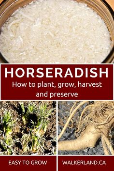 Horseradish guide. Learn how to plant, grow and use horseradish ~ a healthy and powerful perennial food. Growing Herbs, Growing Vegetables, Growing Carrots, Perennial Vegetables, Permaculture, Growing Horseradish, Fresh Horseradish, Horseradish Recipes, Horseradish Pickles