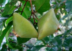 Cambuci, a native tree of Brazil's Atlantic Forest has a green ovoid-rhomboidal fruit. The flesh of the fruit is slightly sweet with a very acidic flavour of a lemon.