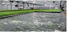 Five largest and longest running commercial aquaponics systems? - Aquaponic #Gardening ... #Aquaponics #Hydroponics #Gardening #Design