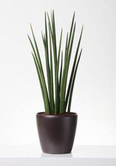 A hengeres anyósnyelv (Sansevieria cylindrica) gondozása - CityGreen. Sansevieria Cylindrica, Bonsai, Planter Pots, House, Decoration, Gardens, Saint George, Landscaping, Sword