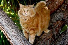 Our Cat Elmo, a Manx - Pixdaus