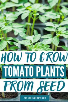 Growing Tomatoes From Seed, you can do it! Step by step instructions plus follow up posts for transplanting, hardening off, and planting in the garden. Ready to grow tomatoes? Let's go!   Tomato garden, seed starting, gardening for beginners, gardening tips, grow from seed, vegetable garden, vegetables from seed, backyard garden, veggie garden, tomato plants Growing Tomatoes From Seed, Growing Green Beans, Types Of Tomatoes, Growing Seeds, Grow Tomatoes, Grow From Seed, Growing Vegetables From Seeds, Backyard Vegetable Gardens, Tomato Garden