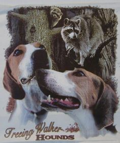 TREEING WALKER HOUNDS