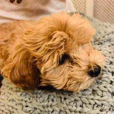 "Buddy on Instagram: ""Pondering Pup life...🐶❤️🐶 #maltipoo #puppy #maltipoopuppy #dogsofinstagram #puppies #puppiesofinstagram #puppylove #teddybeardog #fluffy…"" Teddy Bear Dog, Maltipoo, Puppy Love, Puppies, Dogs, Life, Animals, Instagram, Animales"