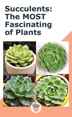 Whether you're just getting started, or you've grown succulents for ages, there is always something new to learn. Think about the first time you saw a succulent plant. What was it about it that grabbed your attention? #succulents #plants #gardening Succulent Landscaping, Succulent Gardening, Succulent Care, Planting Succulents, Types Of Succulents, Small Succulents, Common House Plants, Wedding Plants, Topiary Plants