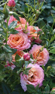 Rose 'Briosa'