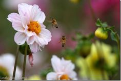 En 15 años Chile podría perder las abejas o convertirse en su último refugio - http://www.leanoticias.com/2014/08/28/en-15-anos-chile-podria-perder-las-abejas-o-convertirse-en-su-ultimo-refugio/