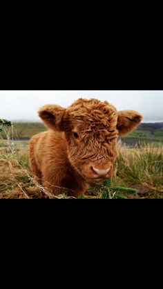 Weekly Hump Day photo of a super cute Highland Cow calf in the Scottish Highlands. Cute Baby Cow, Baby Cows, Cute Cows, Cute Baby Animals, Farm Animals, Cute Babies, Funny Animals, Baby Baby, Jungle Animals