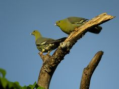 Treron_australis_-Ankarafantsika_National_Park,_Mahajanga_Province,_Madagascar_-two-8.jpg (3383×2537)