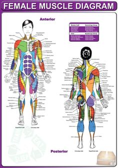 Female Muscle Diagram -