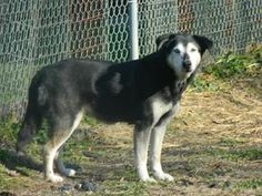 Aspen is an adoptable Husky Dog in Muncie, IN. Aspen is a very sweet and loving older lass. She has been our door greeter at ARF on our open adoption days to welcome promising families. She does love...