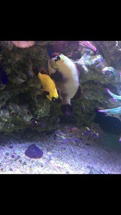Clownfish Pair for Sale Online Marine Aquarium Fish, Live Aquarium Fish, Marine Fish, Fish For Sale, Fish Stock, Live Fish, Saltwater Fishing, Tropical Fish, Program Design