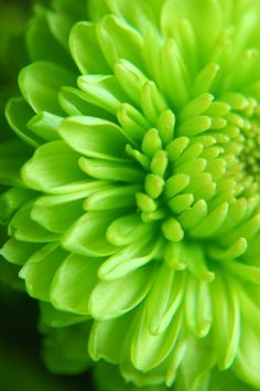 Garden Flowers Green Flower - Would Have Loved It To Be This Color Bright Green, Go Green, Green Colors, Color Of Life, Color Of The Year, Green Flowers, Beautiful Flowers, Palette Verte, Chrysanthemum