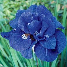 Tumble Bug Siberian Iris