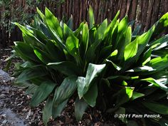 """Cast Iron Plant"" is a sure, pest free, deer free plant, great for shady areas."