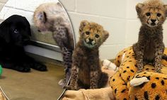 Cats and dogs really can be friends! Cheetah cubs to be raised alongside Labrador puppy at Dallas Zoo, believing the dog will be a calming influence.