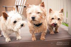 Denver pet photography, labrador, norfolk terrier, Colorado Pet photography, Jenna Noelle Photography