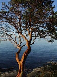 Arbutus Tree I the Gulf Islands Arbutus Marina, Body Art Tattoos, Tatoos, Arbutus Tree, Tree Chair, Weird Trees, West Coast, Island, Landscape