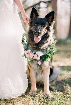 A wreath of greenery and pale-pink ranunculus pop against this German Shepherds dark coat. He's wedding ready!