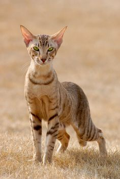 Explore amazing art and photography and share your own visual inspiration! Pretty Cats, Beautiful Cats, Cute Cats And Kittens, Cool Cats, Bastet, Sand Cat, Warrior Cats Art, Oriental Cat, Cat Pose