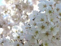 Washington D.C. Cherry Blossoms | glimmersnaps
