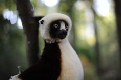 Sifaka Lemur by Melissa Chieffe - Photo 22483009 - 500px