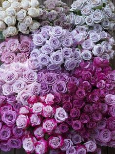 Shades of Lavender Roses