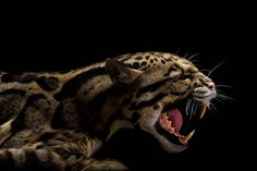 The Clouded Leopard has the longest canines for its skull size of all wild cats. Black Animals, Cute Animals, Eagle Animals, Wild Animals, Beautiful Creatures, Animals Beautiful, Leopard Wallpaper, Gato Grande, Clouded Leopard