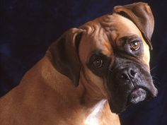 Older Boxer Toileting Inside: So your older dog is toileting inside and you don't understand why? Okay. Let me explain. First of all I should confirm that what we are talking about here is a dog that has already been toilet trained and has achieved this for a considerable period of time say more than 6 months. We also