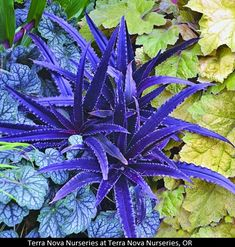 "Eucomis 'Dark Star' - zone 7-9 - resembles dwarf purple stars in the garden. The tiny 10"" tall x 14"" wide clump of narrow, dark purple fleshy leaves lay out at ground level and are topped with a short 10"" spike of pinkish pineapple-like flowers in midsummer"