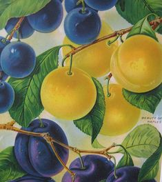 Blue & Yellow color scheme   /Plums Botanical Illustration Fruit Print 1920's by rosekraft, $30.00