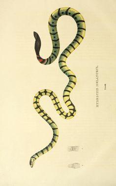 Descriptiones et icones amphibiorum. - Biodiversity Heritage Library  #dailyconceptive #diarioconceptivo