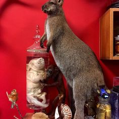 A few of the curiosities in the museum at #cranfieldscuriositycabinet  #taxidermy Linnet mule (canary bird hybrid); genuine #freak 5 legged piglet wet specimen (sold, Wally the 6 legged piglet lives in his place on the shelf now); superb full mount taxidermy Bennett's wallaby; baby albino hedgehog; juvenile red howler monkey; nautilus shell with markings half polished off to show mother of pearl underneath; red legged honey creeper antique taxidermy bird; pair of beaver babies in jar wet…