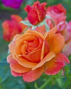 Rose Garden 10 Orange Pink Rose Seeds Flower Bush Perennial Shrub Garden Home Exotic Home Yard Grown Party Weddi - Colorful Roses, Exotic Flowers, Amazing Flowers, Love Flowers, Pretty Roses, Beautiful Roses, Simply Beautiful, Absolutely Gorgeous, Rosa Rose