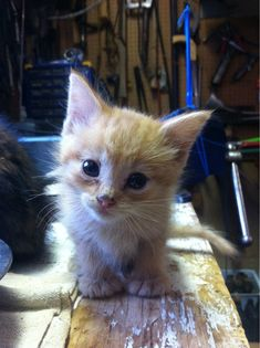 Orange, extra-toed kitten. My allergies will never stop me from loving you! - Imgur