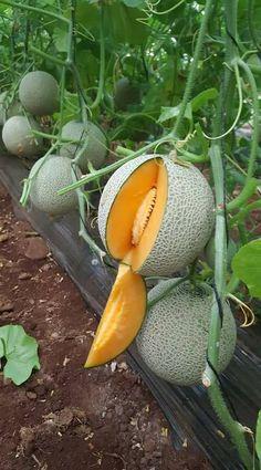 My favorite melon 🍈 cantaloupe ❤️😍😘 Vegetable Garden Design, Veg Garden, Fruit Garden, Fruit And Veg, Fruits And Veggies, Fresh Fruit, Vegetables, Fruit Plants, Fruit Trees