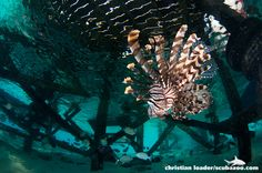 Lionfish under Mataking Resort jetty - Mataking, Sabah