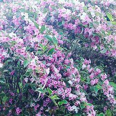 数珠なりの桜!? #landscape