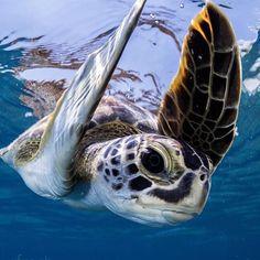 Sea, Sharks and Marine Wildlife Tartaruga Aquatica, Sea Turtle Pictures, Animals And Pets, Cute Animals, Endangered Sea Turtles, Save The Sea Turtles, Tortoise Turtle, Turtle Love, Wild Creatures