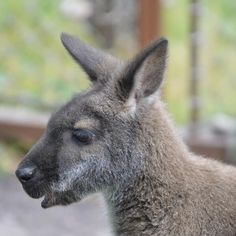 As you make your way through the gates of Australia Walkabout, you will probably be greeted by one of the members of our red-necked wallaby… Cheyenne Mountain Zoo, Walkabout, Gates, Kangaroo, Aquarium, Australia, Make It Yourself, Gallery, Red